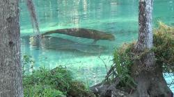 Эверглейдс: Ламантины Кристальной реки (2012) BDRip 720p